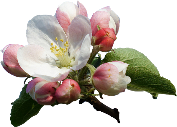 apple-blossom-116409_1920